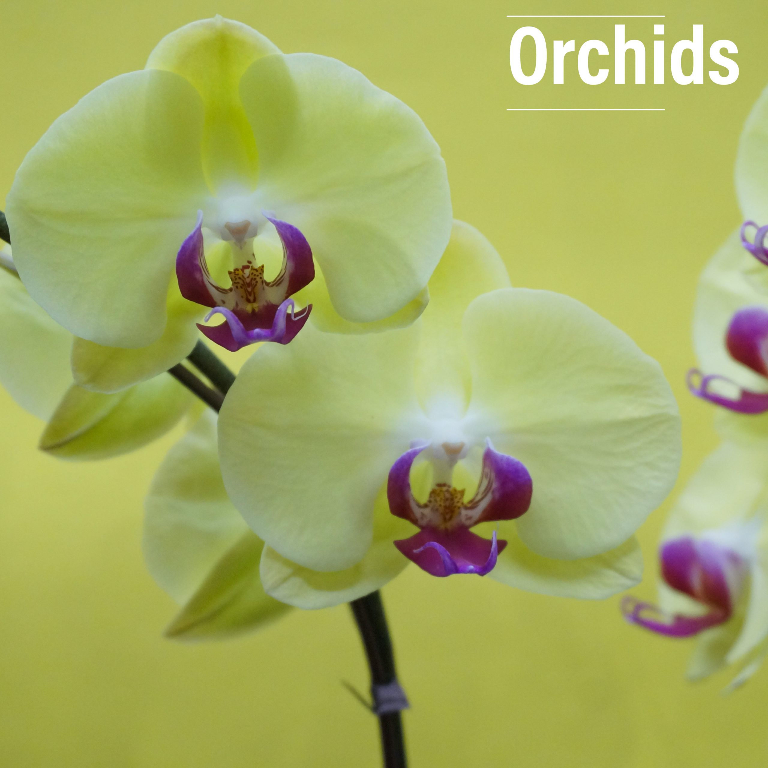 Fresh orchids are delivered monthly on our blooming rotation