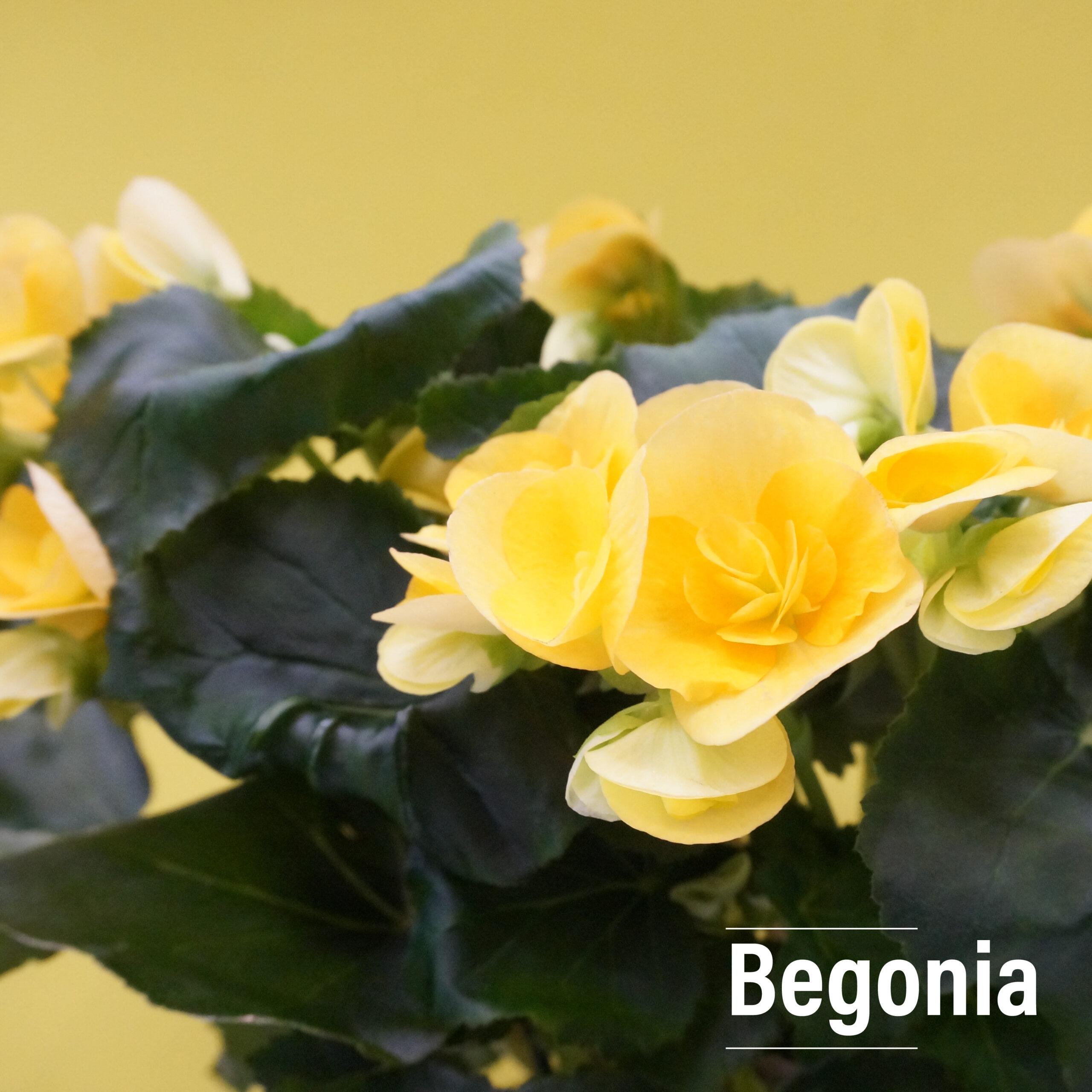 Seasonal Begonia flowers are wide petaled and multi flowered