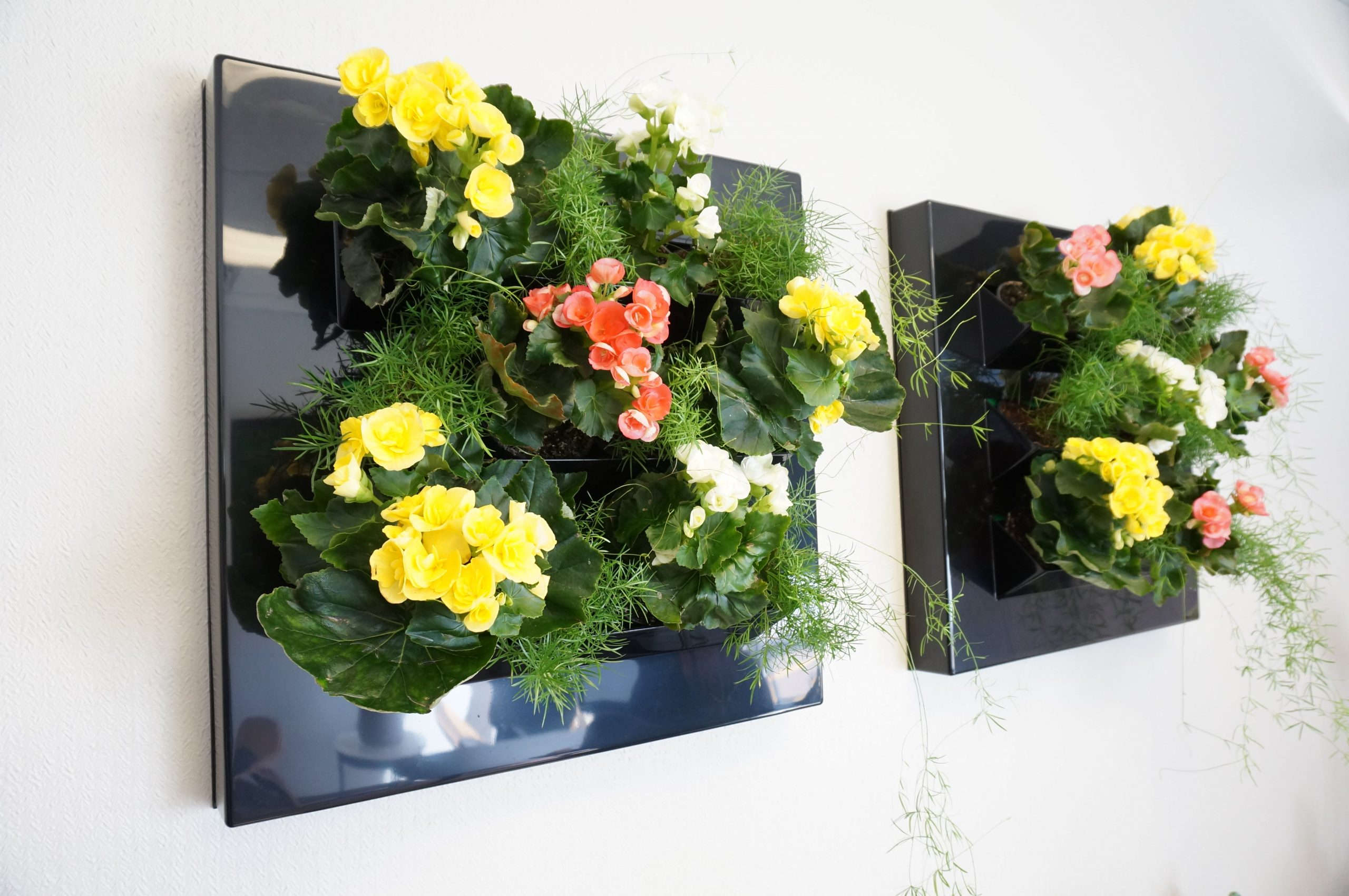 Begonias in Holly's wall