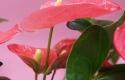 Pink Anthurium