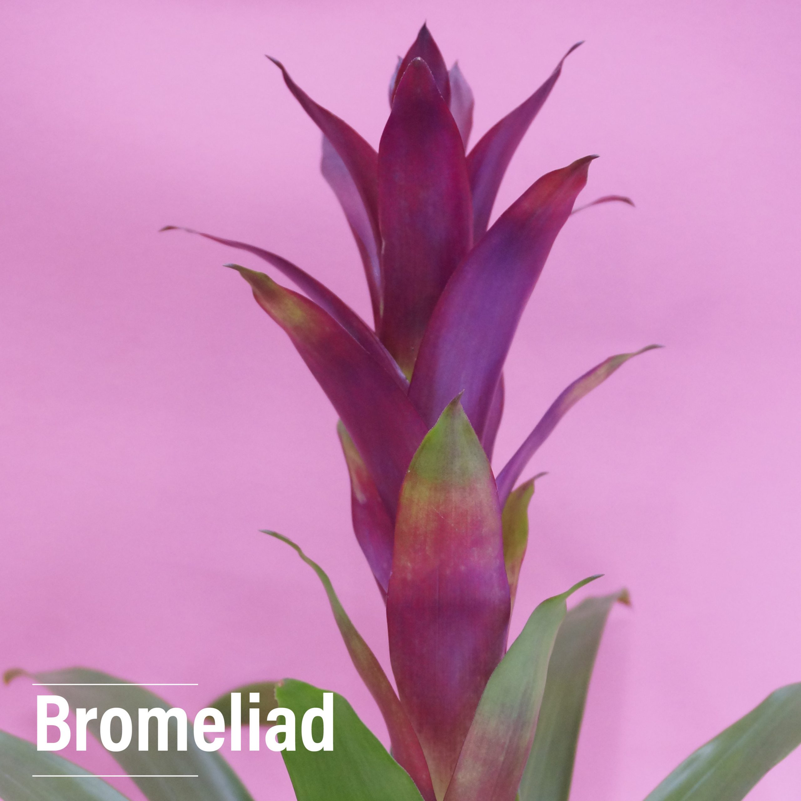 Bromeliads are available on our Blooming rotation