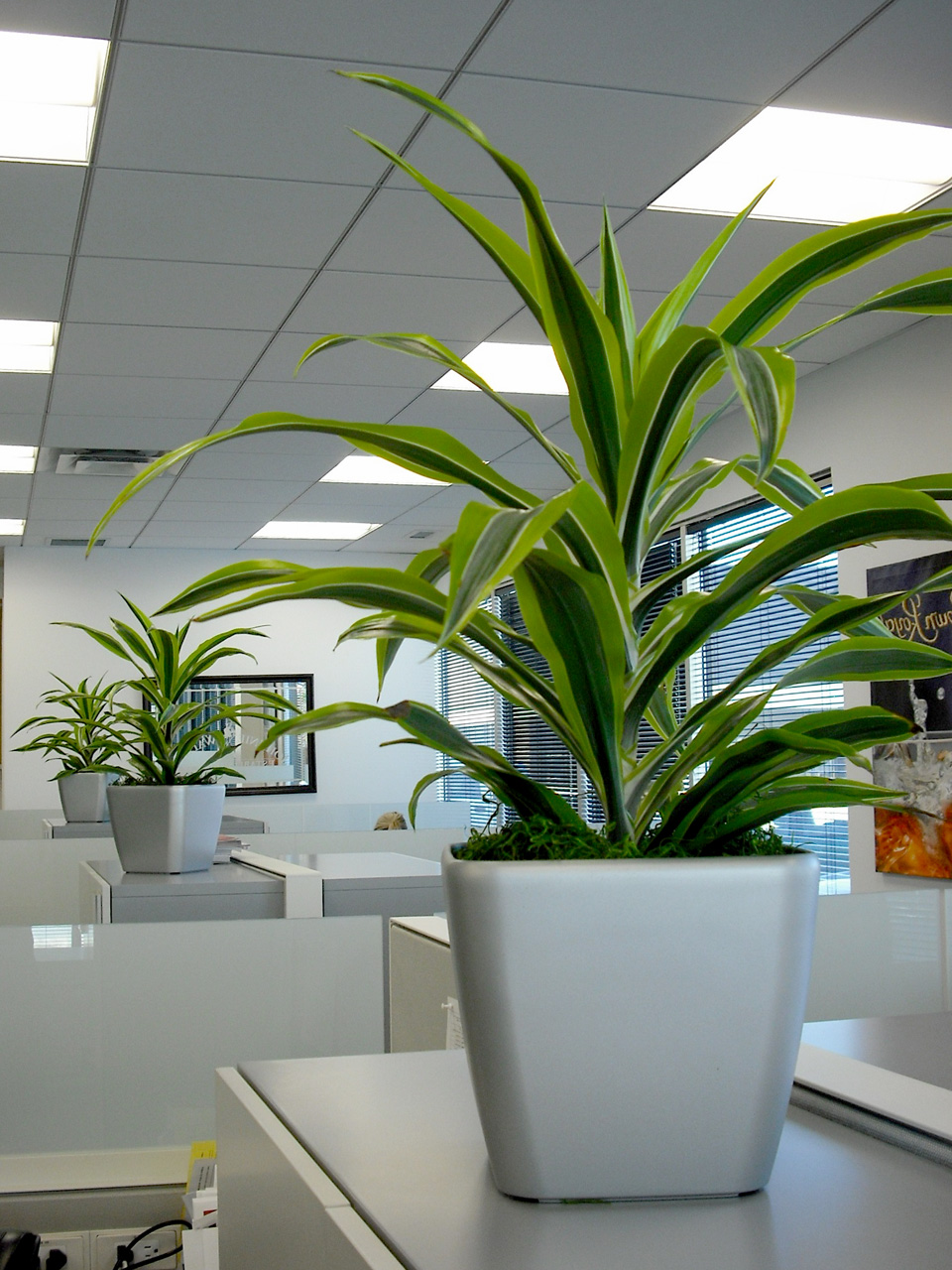Individual desktop Dracaena beautify a cubicle space