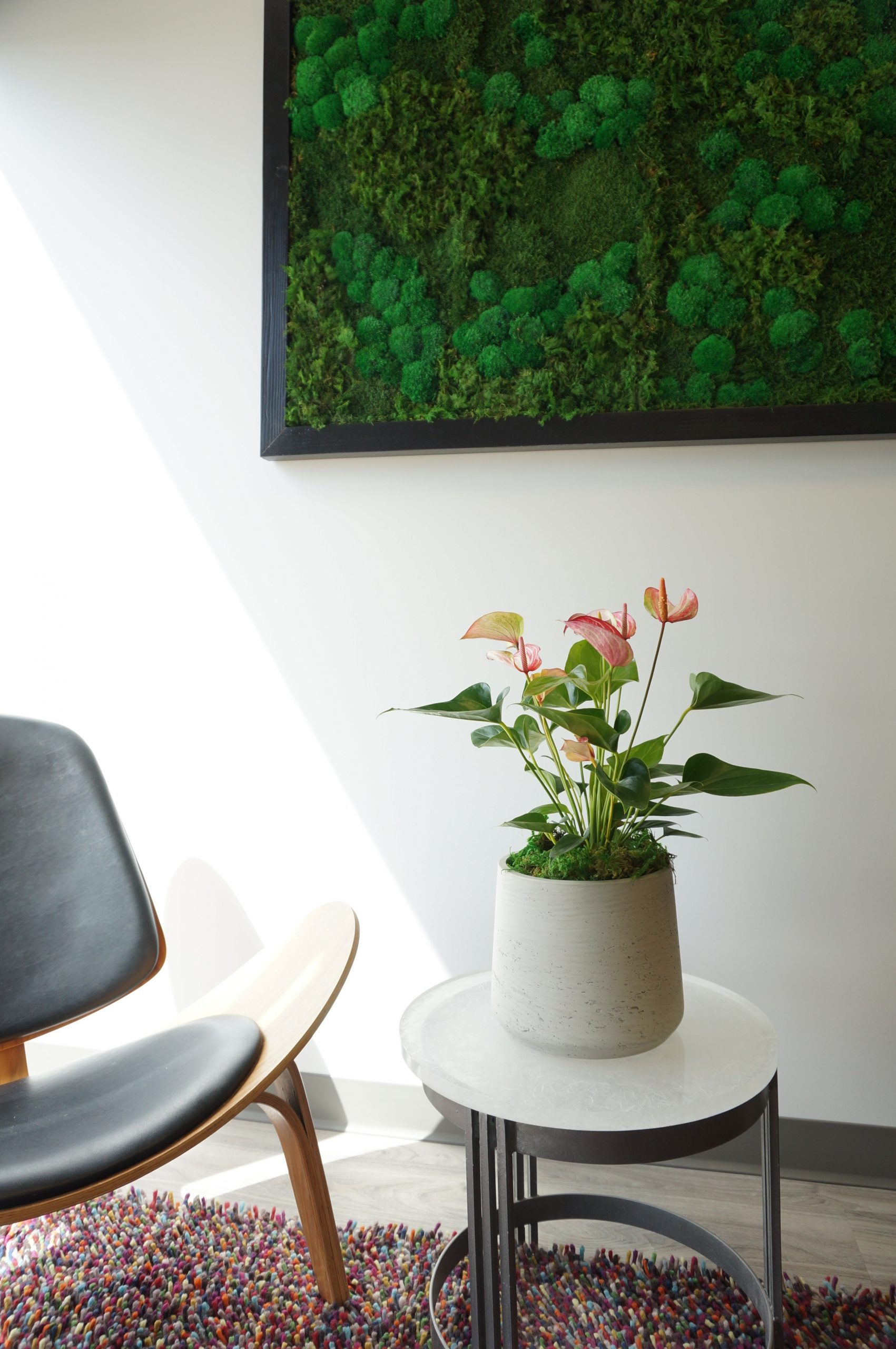 Anthurium in candy stripe red and white with natural light, clay planter and a moss wall.
