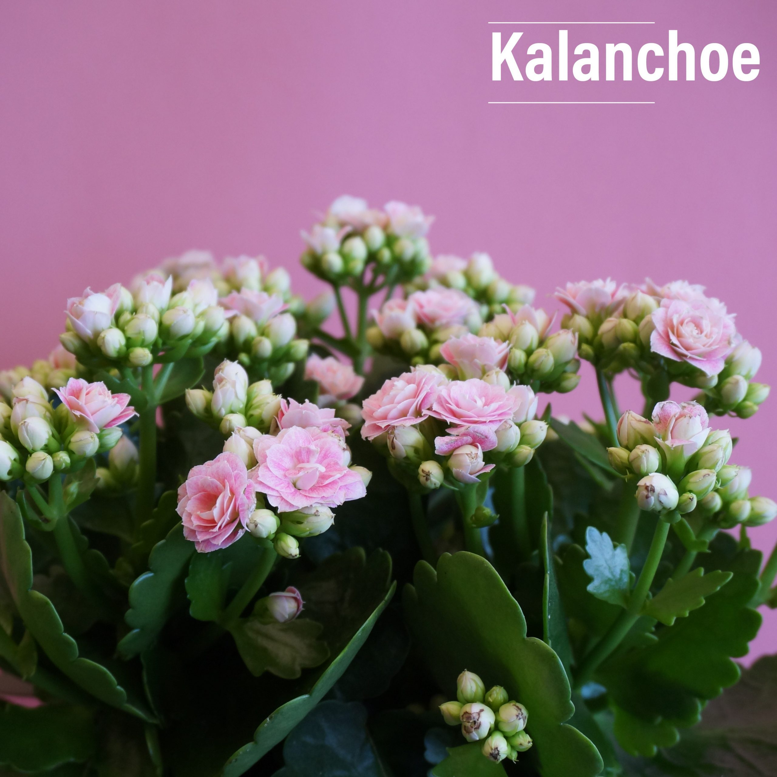 Delicate cascading flowers in a variety of colours